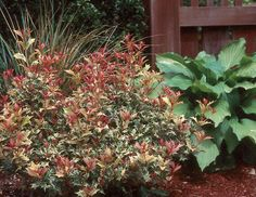 The Osmanthus Goshiki Evergreen Shrub makes a statement any garden with its holly-like leaves and striking pink-red-orange colors. Holly Shrub, Deer Resistant Shrubs, Fast Growing Shrubs, Shrubs For Sale, Small Shrubs, Landscaping Plants, Farmhouse Landscaping