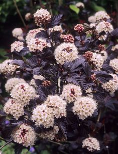 Diablos beautiful dark purple foliage and contrasting snowball flowers in late spring and early summer make a real display in the landscape… Ninebark Shrub, Front Yard Flowers, Flower Landscape, Landscape Design, Foundation Planting, Plant Lighting, Plants Online, Foliage Plants, Gardens