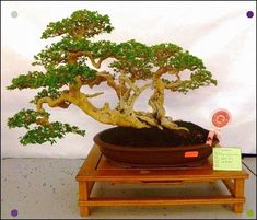 7 Ikadabuki Bonsai Ideas Bonsai Bonsai Garden Miniature Trees