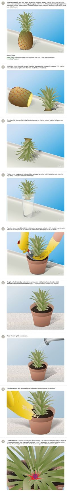VALIDE - (Testé il y a plusieurs années, malheureusement une mauvaise dilution d'engrais l'a tué ) - DIY- How to grow a pineapple: much more descriptive than the other one I pinned