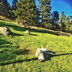 Happy puppy. #spring #GreatPyrenees #Montana