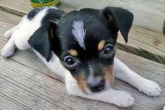 Miniature Rat Terriers - Dogs - by Emilie Montoya Cute Dogs And Puppies, Baby Dogs, I Love Dogs, Rat Terrier Puppies, Rat Terriers, Rat Dog, Dog Cat, Animals Beautiful, Cute Animals