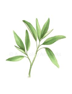 Items similar to Sage Herb Art, Original Watercolor Painting of Sage Plant, Kitchen Art Botanical Illustration, Green Leaf Watercolour Culinary Art on Etsy Watercolor Plants, Watercolor Leaves, Watercolor Paintings, Sage Herb, Sage Plant, Leaf Drawing, Plant Drawing, Herb Art, Tree Sketches