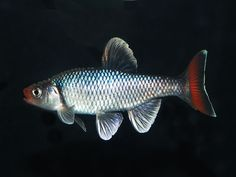 Fireyblack shiner, Cyprinella pyrrhomelas.  Native to the southeasrn US.  Thrives in cool water.