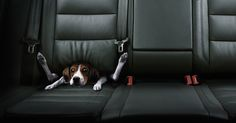 Guess it keeps the dog out of your lap.....pic by Christophe Gilbert