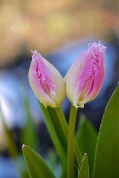2013 Tulip #3