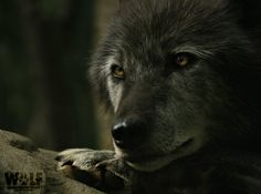 NY Wolf Center (@nywolforg) | Twitter