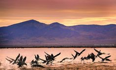 Birds of a feather flock together...amazing capture by Georgie's Photo/Art in Port Augusta with the magnificent Flinders Ranges in the background.