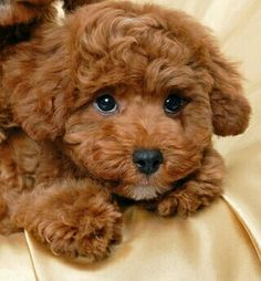 Poodle Dogs ^^Find out about great dane puppies. Check the webpage to get more information Viewing the website is worth your time. Cute Baby Dogs, Cute Little Puppies, Cute Dogs And Puppies, Cute Little Animals, Doggies, Dane Puppies, Cavapoo Puppies, Goldendoodles, Labradoodles