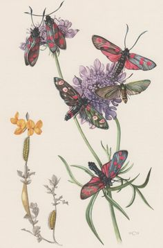 1955 Colorful Burnet Moth Antique Print Lepidoptera by Craftissimo, €13.95