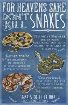 """Heaven's Sake Don't Kill Snakes"""" by Avery Muether Cute Reptiles, Reptiles And Amphibians, Killing Rats, Danger Noodle, Funny Animals, Cute Animals, Cute Snake, Beautiful Snakes, Ball Python"""