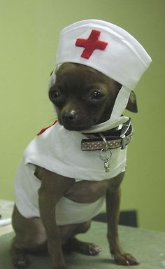 Chihuahua enfermera
