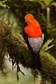 Andean cock-of-the-rock | ©George Scott | A Rupicola peruvianus male photographed at Manu National Park, Peru.