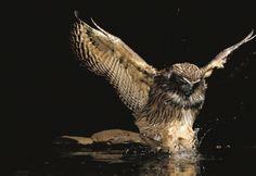 The World's Largest Owls Need Huge Trees | Audubon Magazine #Raptor #BirdsofPrey #BirdofPrey #Bird of Prey #LIFECommunity