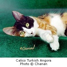 091b91649a63ff 22 Best Turkish Angora Cats  Including