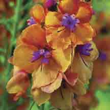 Verbascum Clementine - 224211 - All Flower Plants - Flower Plants - Gardening Flowers Nature, My Flower, Beautiful Flowers, Orange Flowers, Colorful Flowers, Orange Pink, Biennial Plants, Dream Garden, Beautiful Gardens