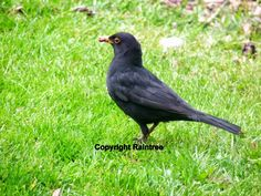 Diary Of A Wild Country Garden: Friendly Blackbird Visitors In The Spring Garden Animals And Pets, Cute Animals, Blackbirds, Spring Garden, Animal Kingdom, Country, Nature, Pets, Pretty Animals