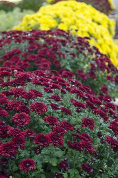 Central Michigan University Campus - Maroon & Gold Flowers