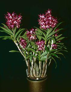 Dendrobium Intense 'EB'