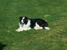 Bandit is an awesome Border Collie!