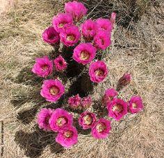 Echinocereus triglochidiatus - Hedgehog Cactus