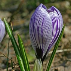 Frühlingsgefühle: Crocus vernus Pickwick ist ein aufsehenerregender, fein gestreifter Krokus. Pflanzzeit für die Blumenzwiebeln ist Herbst, erhältlich bei www.fluwel.de