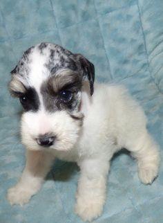 Blue Merle schnauzer Mini Schnauzer, Miniature Schnauzer, Cute Puppies, Cute Dogs, Blue Merle, Four Legged, Mans Best Friend, Beautiful Babies, Snuggles