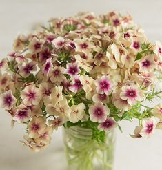 Phlox drummondii 'Cherry Caramel' - has late-summer flowers with a cherry colored center. Perennial in Ohio.