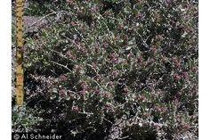 Atriplex confertifolia (Torr. & Frém.) S. Watson shadscale saltbush - ATCO - Shrub Subshrub
