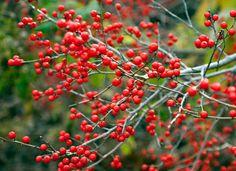 10 Colorful Shrubs for a Standout Winter Garden