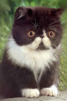 What a cute face! #Persian... Too adorable for words!