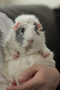 Don't hold your guinea pigs like this, it is very bad for their backs and hurts them.