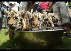 Çin-in Jiangsu bölgesi. Sıcaktan bunalan kaplan yavruları küçük küvetlerinde banyo yapıyor.