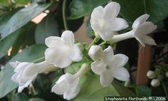 sugar flower tutorial gumpaste stephanotis filler flower image via Floribunda
