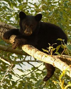 ☀Black Bear Cub Resting On A Tree Branch, by Max Allen