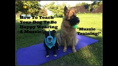 This video is a step by step guide to teaching your dog to love a muzzle! (Muzzle Training using positive reinforcement). Respondent conditioning is used to . Positive Reinforcement, Step Guide, Conditioning, Stress, Training, Make It Yourself, Health, Dogs, How To Wear