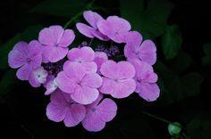 https://flic.kr/p/29ufZT   Hydrangea   Wishing you all a happy and sunny sunday!! I know I'll be outside most of the day! //  Ik wens iedereen 'n prettige en zonnige zondag! Ik weet wel dat ik het grootste deel van de dag buiten zal zijn!