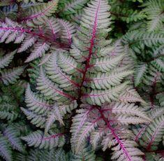 japanese painted fern | ATHYRIUM 'Regal Red' (niponicum var. pictum) – Fougère peinte ...