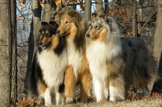 These Collies are beautiful!  I need to take more pics of Cheyenne