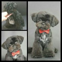 Dog Grooming - Click visit site and Check out Cool Shih Tzu T-shirts. This website is top-notch. Tip: You can search your name or your favorite shirts at search bar on the top. Havanese Puppies, Cute Puppies, Dogs And Puppies, Doggies, Retriever Puppies, Perro Shih Tzu, Shih Tzu Puppy, Shih Tzus, Dog Grooming Styles
