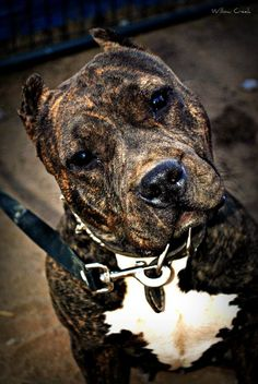 Gorgeous Brindle pit bull terrier puppy dog pittie pitbull Check more at http://hrenoten.com