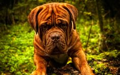 Dogue de Bordeaux, big brown dog, French Mastiff, Bordeauxdog, 4к, pets, dogs