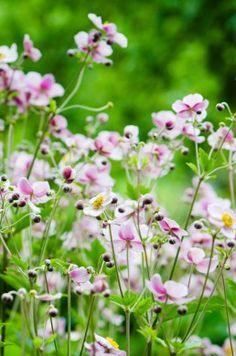 Anemone japonica 'Königin Charlotte' - Herbstanemone