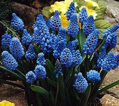 Muscari, la flor de los duendes. Flores azules.