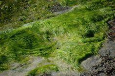 Limo nas pedras da Praia da Vila, Saquarema, RJ