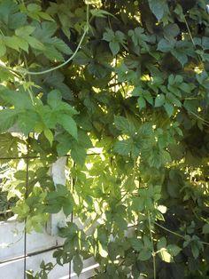 Humulus lupulus in my garden in August. Beatiful!