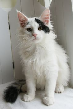 Black and white, Maine Coon cat. Crazy Cat Lady, Crazy Cats, Baby Animals, Cute Animals, National Cat Day, Mean Cat, Norwegian Forest Cat, Maine Coon Cats, Warrior Cats