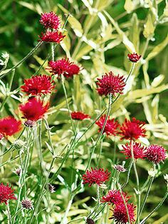 Knautia macedonica Sun; Perennial; Height:1 to 3 feet 1-2 feet wide; Flower Blue, Red; Summer Bloom; Drought Tolerant; Attracts Birds, Cut Flowers, Good for Containers, Zones:5-9
