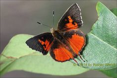 Male Common Scarlet(Axiocerses harpax), is a butterfly in the Lycaenidae family. It is found in Senegal, Gambia, Guinea-Bissau, Guinea, Mali, Sierra Leone, Liberia, Ivory Coast, Burkina Faso, Ghana, Togo, Benin, Nigeria, Cameroon, Chad, the Central African Republic, the Democratic Republic of Congo, Sudan, Uganda, Ethiopia, Somalia, Yemen, Oman, Kenya and Tanzania.[2] The habitat consists of forests, woodland and savanna. Photographed by Raiwen in Guinea, West Africa on 16th May 2014.