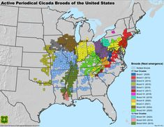 """vox: """" Where billions of cicadas will emerge this spring (and the next decade), in one map For 17 years, cicadas do very little. They hang out in the ground, sucking sugar out of tree roots. White Noise Generator, Tree Roots, Forest Service, Tree Trunks, Urban Setting, In The Tree, Nymph, Cartography"""